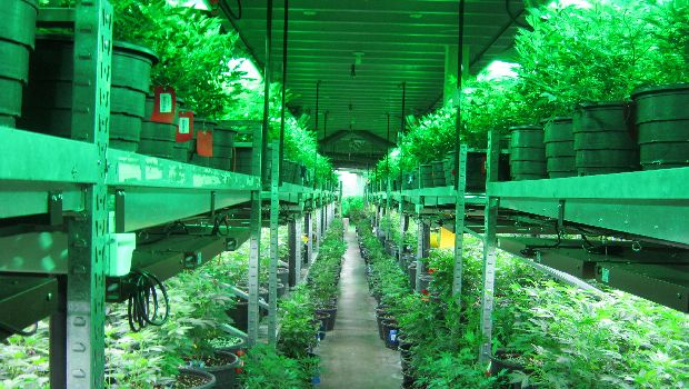 "Welcome to ""The Green Mile"", a vast room for cultivating marijuana plants at Medicine Man, a Colorado dispensary serving customers of medical and recreational pot."