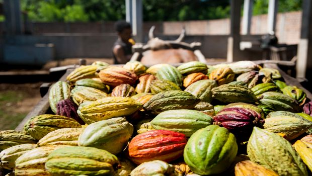Cocoa pods are harvested once a week with an ox drawn cart.