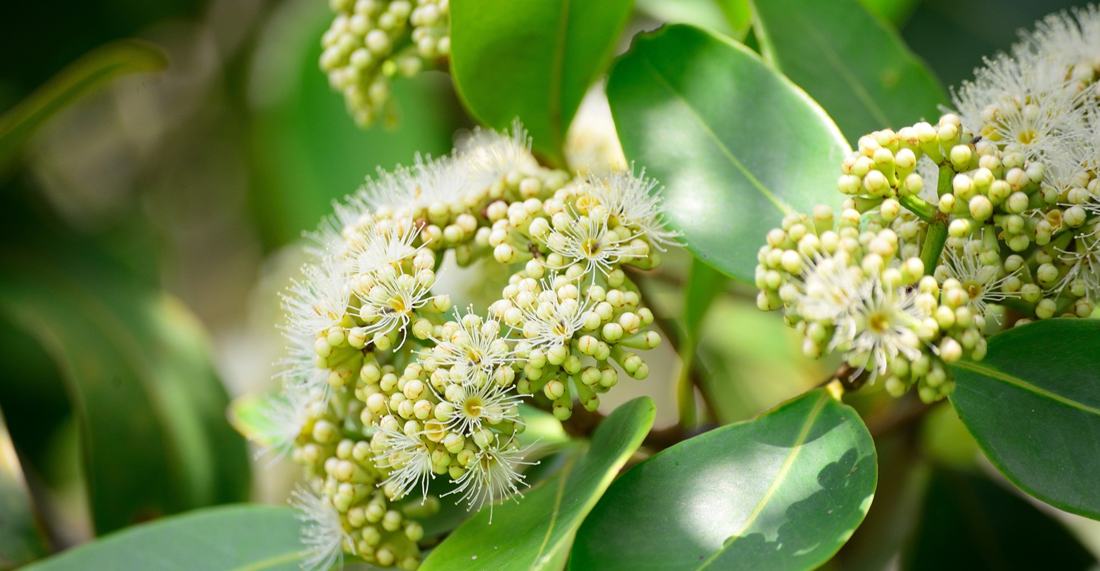 Promoting Weight Management With Salacia Chinensis Natural