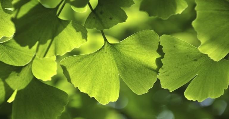 INS ginkgo leaf