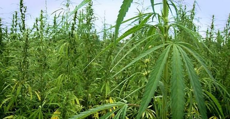 Congressmen Introduce Bill to Exempt Industrial Hemp From Controlled Substances Act