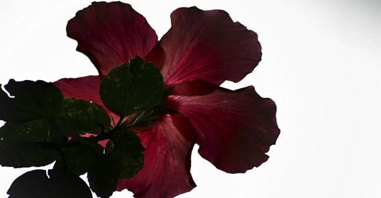 hibiscus leaf_melanoma