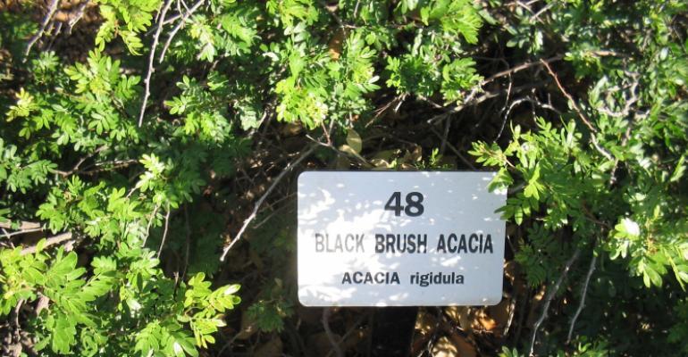 ''Acacia rigidula'' with sign Glendale Public Library Botanical Gardens (West Edge of Phoenix, Arizona, USA. Source: Don AW Carlson