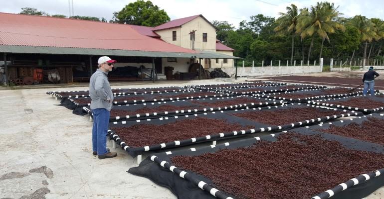 Coffee Cherries Drying