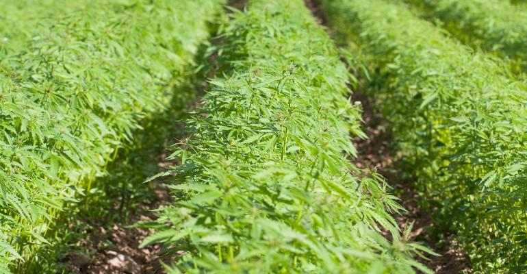 Sen. Paul introduces bill to raise THC limit for hemp .jpg