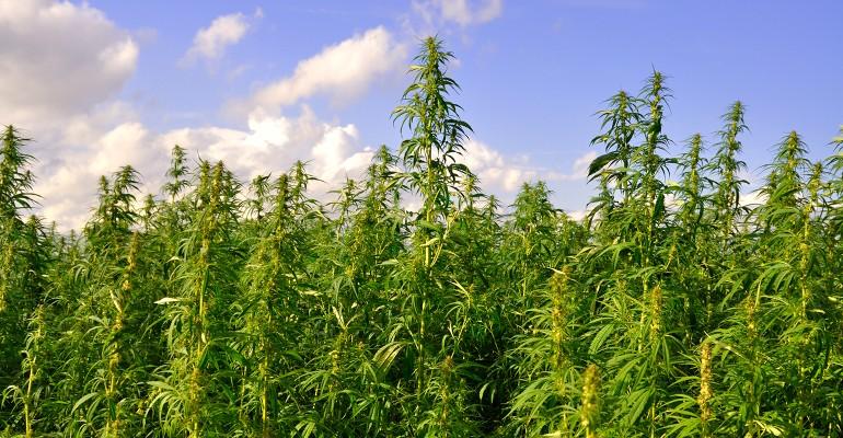 Would marijuana legalization save hemp CBD from regulatory overreach.jpg