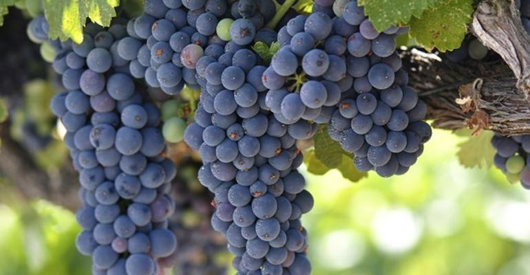 Grapes May Fight Off Infections in Obese People