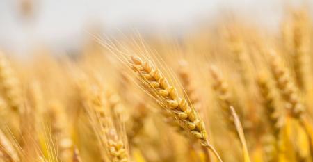01_23 wheat prices